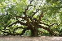 The Angel Oak, Johns Island, South Carolina