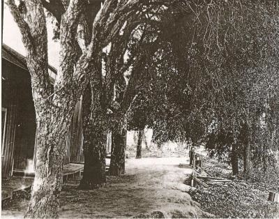 The same Cork Oak Tree, photo dated before 1896.